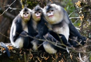 08 Nov 2012, Yunnan Province, China --- Black snub-nosed monkeys are seen in Baima Snow Mountain Nature Reserve, Yunnan Province, China, Nov. 2012. The black snub-nosed monkey (Rhinopithecus bieti), also known as the Yunnan snub-nosed monkey, is an endangered species which could only be found in some high altitude mountain areas of China's Yunnan Province and Tibet Autonomous Region. --- Image by © Ma Xiaobo Photography China/Corbis