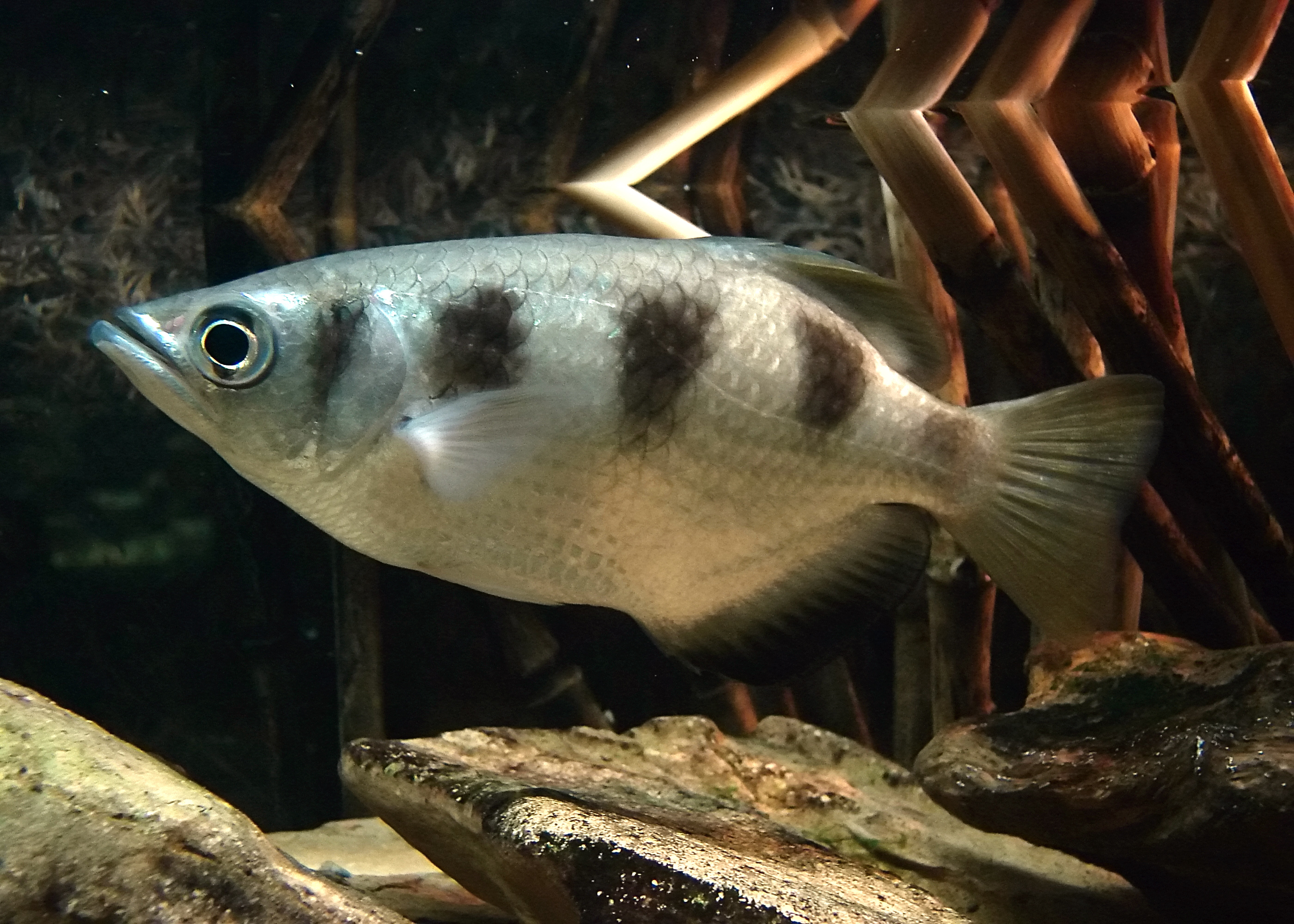 Freshwater fish facts - Banded Archerfish
