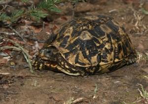 Natal Hinge-Back Tortoise