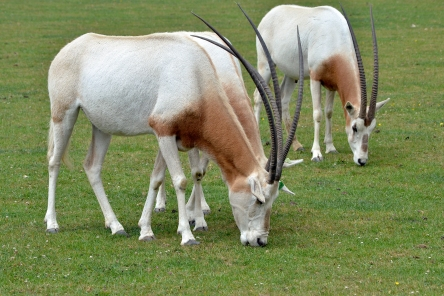 https://haydensanimalfacts.files.wordpress.com/2016/05/scimitar-horned-oryx.jpg?w=444