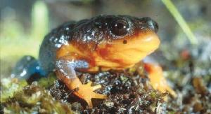 Sunset Frog