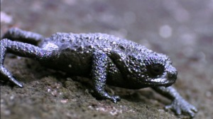Venezuela Pebble Toad