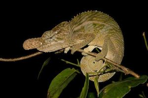 Rhinoceros Chameleon