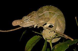 Rhinoceros Chameleon