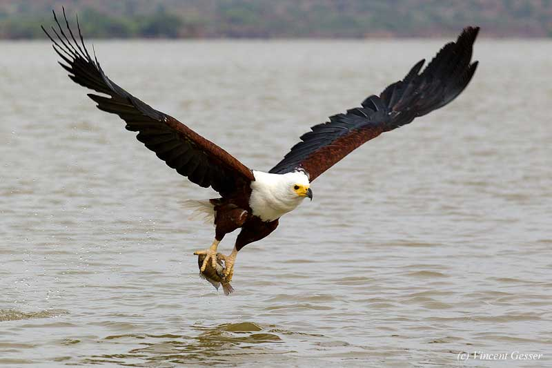 the different types of eagles and their habitat D) eagle facts - behaviour 10 in line with their proud and arrogant bearing , eagles obviously have confidence levels to match, because all other birds of prey have the habit of glancing over their shoulder before diving for their prey.