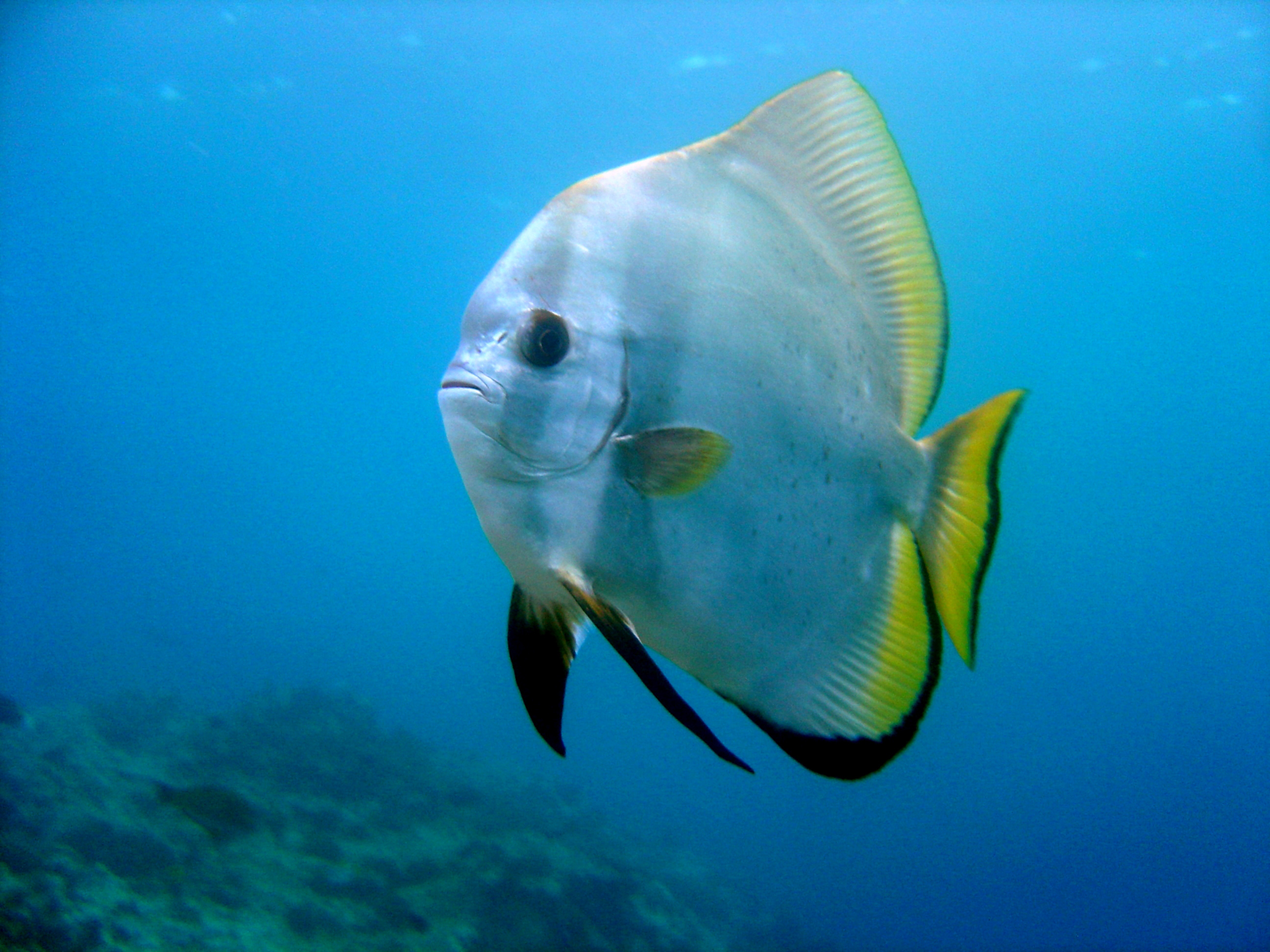 5 interesting facts about orbicular batfish hayden 39 s for Information about fish