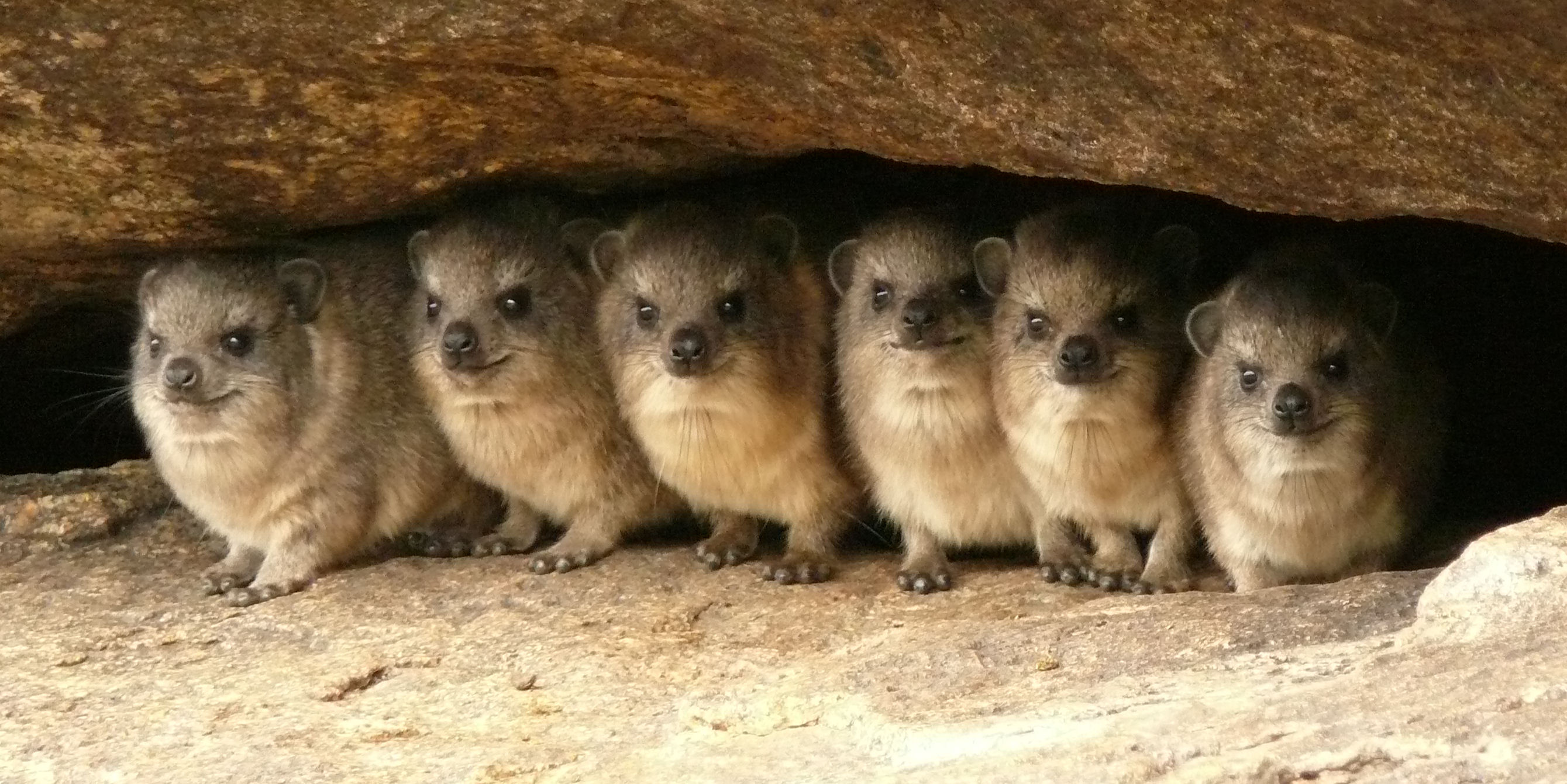 5 interesting facts about rock hyraxes hayden s animal facts