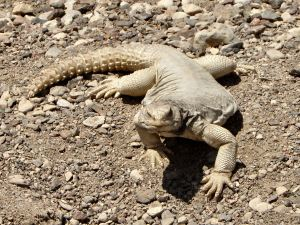 Here is an Egyptian spiny-tailed lizard showing off its impressive tail