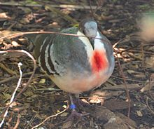 luzon-bleeding-heart