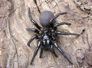 sydney-funnel-web-spider