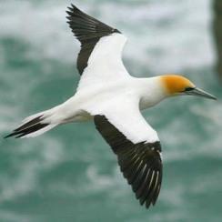 australasian-gannet